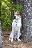Branco e assento misturado bronzeado do cão de cachorrinho da raça, foto da adoção do animal de estimação do abrigo animal foto de stock