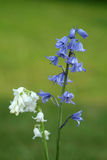 Branco e bluebells Foto de Stock