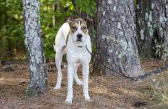 Branco e cão de cachorrinho misturado bronzeado da raça, foto da adoção do animal de estimação do abrigo animal imagem de stock royalty free