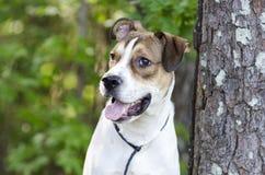 Branco e cão de cachorrinho misturado bronzeado da raça, foto da adoção do animal de estimação do abrigo animal foto de stock royalty free