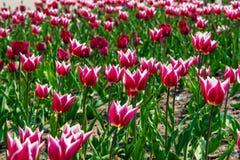 Branco e campo de flor de vidro do abajur das tulipas cor-de-rosa foto de stock royalty free