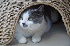 Branco e cinza europeus do gato Imagens de Stock