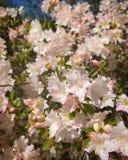 Branco e cor-de-rosa foto de stock