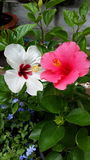 Branco e cor-de-rosa Imagem de Stock Royalty Free
