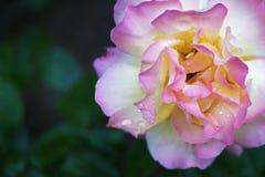 Branco e cor-de-rosa bonitos aumentaram foto de stock royalty free