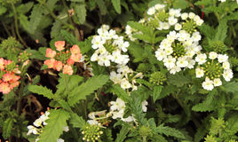 Branco e flores do verbena Imagens de Stock