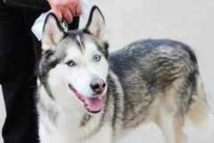 Branco e Gray Adult Siberian Husky Dog ou Sibirsky Husky With Blue e olhos de Brown Heterochromia Foto de Stock