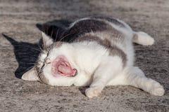 Branco e Grey Tabby Cat Rolling em concreto e bocejo Fotos de Stock Royalty Free