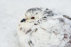 Branco e inverno do frio de Gray Pigeon Bird Freezing In Imagens de Stock Royalty Free