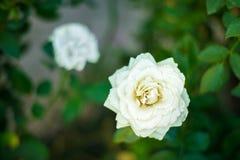 Branco e rosa do branco no jardim imagens de stock royalty free