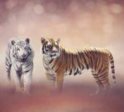 Branco e tigres de Brown fotografia de stock royalty free