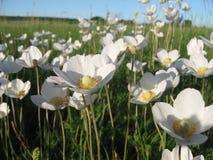 Branco em um prado Fotos de Stock