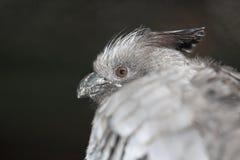 Branco-inchado vai-afastado o pássaro imagem de stock