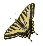 Branco isolado Tiger Swallowtail Butterfly ocidental Fotografia de Stock