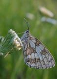 Branco marmoreado - galanthea de Melanargia Imagem de Stock