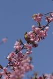 Branco-olho Montane com flores de cereja Imagem de Stock Royalty Free