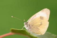 Branco pequeno - Pieris Rapae Fotografia de Stock Royalty Free