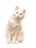 Branco que senta o gato turco do angora que senta-se e que inclina-se para a frente para olhar na câmera Imagens de Stock Royalty Free