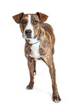 Branco rajado de Pit Bull Crossbreed Dog Over imagem de stock