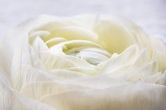 Branco Rose Flower Nature Refreshment do close up imagens de stock
