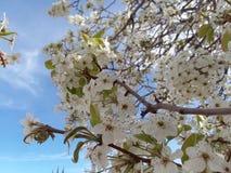 Branco Texas Morning Fruit Sunshine da mola da flor da flor da árvore de pera fotografia de stock royalty free