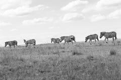 Branco Tone Vintage do preto das pastagem dos animais da zebra dos animais selvagens Imagem de Stock