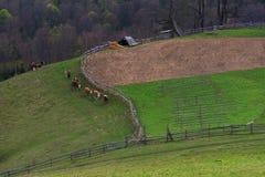 Branco tradizionale nella Transilvania, Romania Immagine Stock