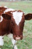 Branco & vaca de Brown que pasta no pasto Foto de Stock