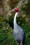 Branco vermelho e Gray Sarus Crane Standing Outside Fotos de Stock