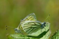 Branco viened verde Foto de Stock Royalty Free