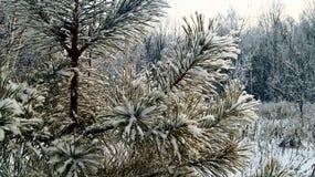 Branct innevato del pino. Immagini Stock