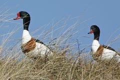 Brand-ducks Stock Photo