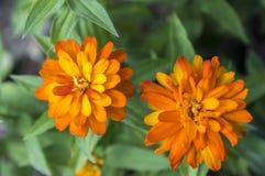 Brand för Zinniamarylandicazahara dubblett i blom, dekorativ blomma för orange guling i blom Royaltyfri Foto