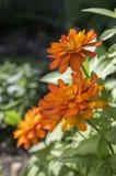 Brand för Zinniamarylandicazahara dubblett i blom, dekorativ blomma för orange guling i blom Royaltyfri Fotografi