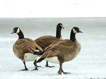 Brand goose ( Branta bernicla ) Royalty Free Stock Photography
