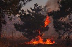 brand Löpeld brinnande pinjeskog royaltyfri fotografi
