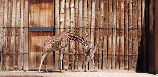 Brand New Baby. A nudge of encouragement from mom for a brand new baby giraffe Stock Images