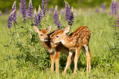 Brand new baby fawns. In springtime Royalty Free Stock Photo