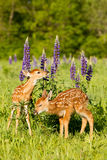 Brand new baby fawns in vertical photograph. Brand new baby fawns in springtime in vertical photograph Royalty Free Stock Photos