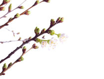 Brand new blooming cherry branches Royalty Free Stock Photos