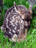 Brand New Fawn. Fawn, perhaps a week or so old, nestled in the grass Stock Image
