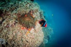 Brandclownfish Arkivbild