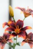 Branddaylily Royaltyfri Bild