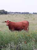 & x22;Branded& x22; Brown Cow Grazing on Texas Ranch royalty free stock images
