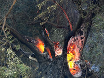 Brandende olijfboom Royalty-vrije Stock Afbeeldingen
