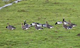 Brandgans, Barnacle Goose, Branta leucopsis, Kolgans; Greater White-fronted Goose; Anser albifrons royalty free stock photos