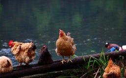 Brandhähne und Hennen stockfoto