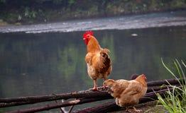Brandhähne und Hennen stockbilder