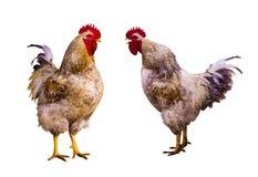 brandhahn Hahn-Porträt Hahn auf einem Bauernhof Hahn und Hühner Bauernhof Eine Familie schöner männlicher Hahn lokalisiert auf we stockbilder