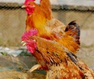 Brandhahn mit Hennen lizenzfreie stockfotografie